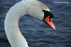 Mute Swan Droplet