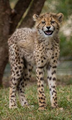 Happy Cheetah Cub by Todd Lahman                                                                                                                                                      More