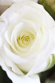 /\ /\ . Rose