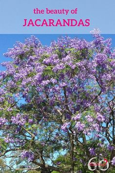 Jacarandas are blooming via @https://au.pinterest.com/loncaric2047/