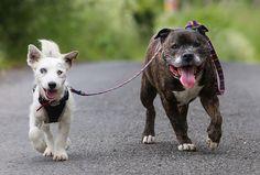 イギリスのハートルプールにて、2匹の犬が保護されました。1匹はジャックラッセル・テリアの「グレン」。もう1匹はスタッフォードシャー・ブル・テリアの「バズ」。 グレンは保護されたときにはすでに目が見えない状態でした。そんなグレンに優しく寄り添うバズ。 発見された場所の近くにあった動物保護施設「Stray Aid