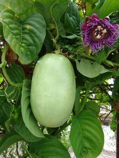 Maracuja - Passion fruit ( Passiflora edulis forma flavicarpa )