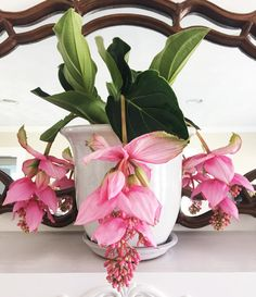 Medinilla magnifica // The Botanical Bungalow