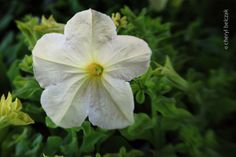 White Wave Petunia captured with my Lensbaby Spark! Photo by Cheryl Belczak. #seeinanewway #Lensbaby