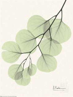 Cascading Eucalyptus • Albert Koetsier