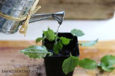 Growing clematis from cuttings