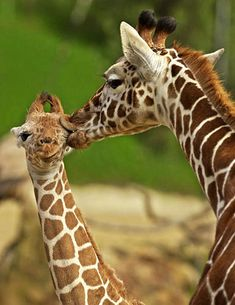 Mother Giraffe kissing her Calf posted via weruletheinternet.com