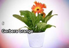 un gerbera orange dans un pot blanc