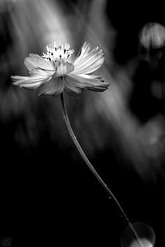 Black and white photo.  Flower.