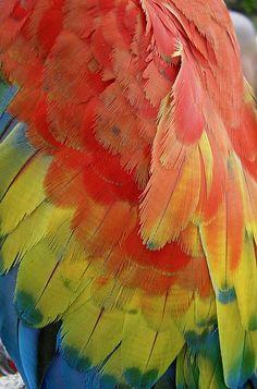 Venezuela colores guacamaya.
