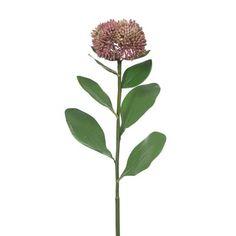 Sedum Mauve  46cml Mauve, Plants, Flora, Plant