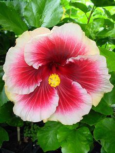 'Tahitian Purple Lady' hibiscus Small Trees, Hibiscus Flowers, Shrubs, Avon, Perennials, Planting Flowers, Biscuits, Tropical, Gardening
