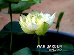 Chuehuang Lotus Yellow 1 | Nelumbo nucifera or Sacred Lotus … | Flickr Nelumbo Nucifera, Sacred Lotus, Yellow, Plants, Plant, Planets