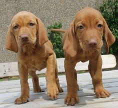 vizsla puppies florida