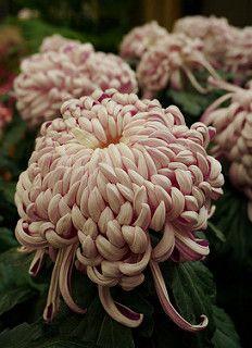 Chrysanthemum 'Kokka Bunmi'~Image by Karl Gercens Colorful Plants, Exotic Plants, Exotic Flowers, Beautiful Flowers, Japanese Chrysanthemum, Chrysanthemum Flower, Bloom Baby, Moon Garden, Flower Farm