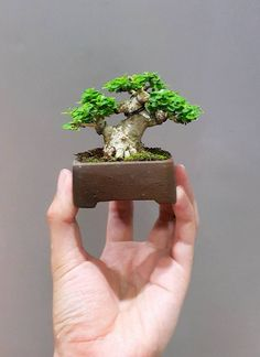 Are you interested in getting an indoor bonsai tree? If you are, then you definitely need to learn about how you can take good care of your tree so that it will survive life indoors. Jade Bonsai, Ficus Bonsai, Juniper Bonsai, Bonsai Plants, Bonsai Garden, Bonsai Trees, Garden Plants, Bonsai Tree Care, Indoor Bonsai Tree