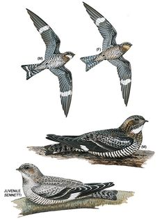I like birds. I've handled nighthawks at a bird rescue. Also like swallows, but they are in lots of tattoos.