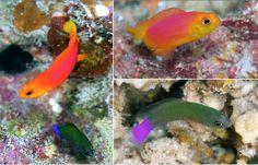 Pseudochromis luteus