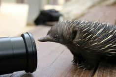 This Baby Echidna Was Rescued, Now Let It Inspire You