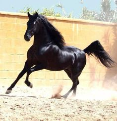 Wishing to run free like this shiny black horse, what a beauty! Black Arabian Horse, Beautiful Arabian Horses, Majestic Horse, Black Horses, Majestic Animals, Pretty Horses, Horse Love, Horse Photos, Horse Pictures
