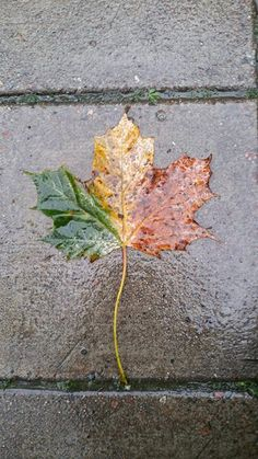 This leaf is uniformly three colored