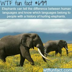 """""""We knew elephants could distinguish the Maasai and Kamba by their clothes and smells, but that they can also do so by their voices alone is really interesting."""" http://www.nature.com/news/elephants-recognize-the-voices-of-their-enemies-1.14846"""