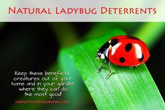 Natural Ladybug Deterrents! More info here: http://homesteadingsurvival.com/natural-ladybug-deterrents/