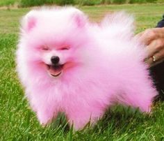 White Pomeranian Pictures and Images Pink Animals, Baby Animals, Funny Animals, Cute Animals, Animals Beautiful, White Pomeranian, Pomeranian Puppy, Pet Puppy, Cute Puppies