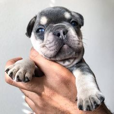 972 845 7506 Please Text Only My Number Only This Number 972 845 7506 12 Week Old French Bulldog Puppy Great With O Puppies Super Cute Puppies Puppy Adoption