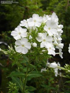 PHLOX paniculata 'Fujiyama' - Høstfloks, farve: hvid/duftende, lysforhold: sol, højde: 100 cm, blomstring: juli - august, velegnet til snit, god til bier og andre insekter.