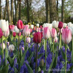 Amazing RT Tulips in Holland Lovely blue muscari and tulips #flowers #amaryllis #keukenhof