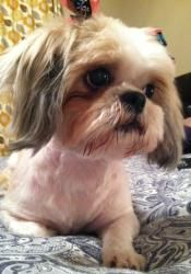 Hannah is an adoptable Shih Tzu Dog in Fort Worth, TX. Hannah was rescued from a local kill shelter when her time was up. She is the happiest little dog and loves other dogs and cats. She is also good...