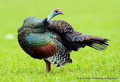Ocellated Turkey by Rich Lindie in Guatemala