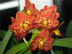 propetalum orchid | Ascocenda Fuchs Spotted Cat, Kultana Orchids, Таиланд