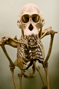 A portrait of a gorilla skeleton on display at the Horniman Museum and Gardens in Forest Hill, on September 25, 2008 in London, England. (c) Stefan Jeremiah/BearWitnessPictures