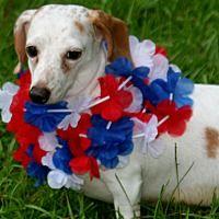jesup, Georgia - Dachshund. Meet ROSIE, a for adoption. https://www.adoptapet.com/pet/22476653-jesup-georgia-dachshund