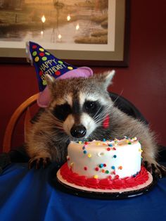 Pet raccoon birthday https://www.facebook.com/pages/Lucky-Baxter/316649561793597
