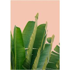 Banana Leaves 500mm x 500mm Framed Print