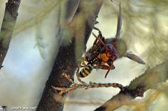 Le frelon asiatique, un redoutable tueur d'abeilles !