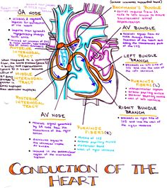 A diagram of the conduction system of the heart electrical impulses conduction system of the heart ccuart Images
