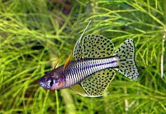 Pseudomugil_gertrudae-Cadell_River