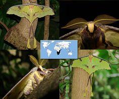 African Moon Moth | Argema mimosae  | Wingspan:  5.0 to 7.0 in Family: Saturniidae | Subfamily: Satruniinae | Tribe: Saturniini  Photos © Ryan G. Fessenden
