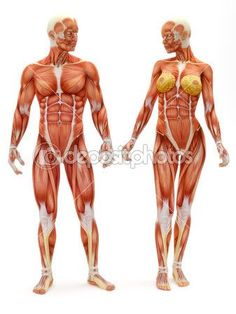 Similar images to 25889335 Human Anatomy - Female Muscles