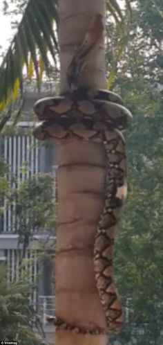 The  snake has been identified as a reticulated python is believed to have been filmed in ...