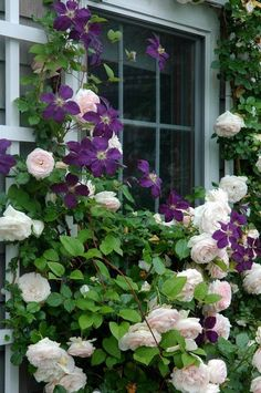 clematis on trellis landscape traditional with eden  roses and  the president  clematis entwine around a t #CountryGarden