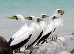 masked booby | Masked Booby