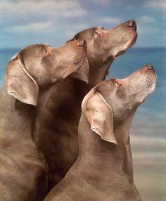 Weimaraner ✿⊱╮  Great photo of beautiful dogs. 7/25/14