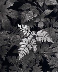 Ansel Adams, American photographer (1902-1984).