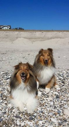 Shelties at the Beach