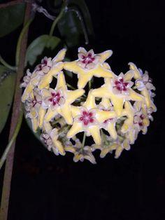 Hoya alagensis